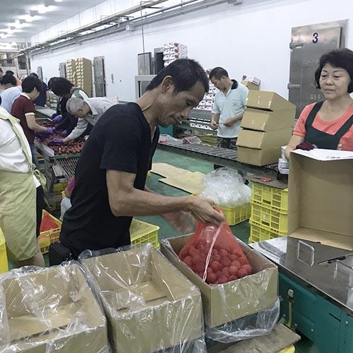 台中荔枝熱銷日本 再銷日735公斤糯米荔枝