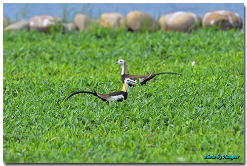 台灣水雉育雛,荷苞嶼濕地公園成了婚紗拍攝秘境