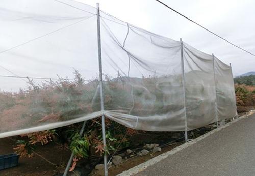 芒果迎風面設置防風網減緩寒流損害(高雄農改場提供)