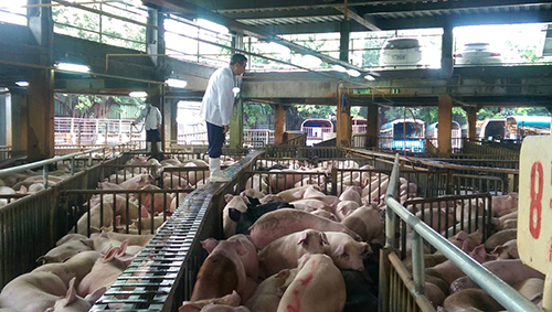 毛豬於繫留欄