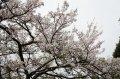 嘉義縣阿里山櫻花季──櫻與音的對話