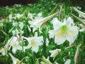桃園大古山野百合花季:媽媽的野百合之日
