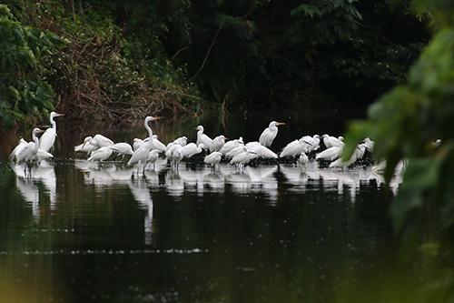 白鴛鴦傍晚集體於生態池覓食