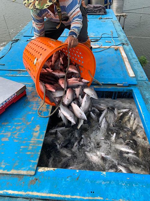 鱸魚、吳郭魚低溫保單15日截止 嘉義縣府籲請漁民把握投保