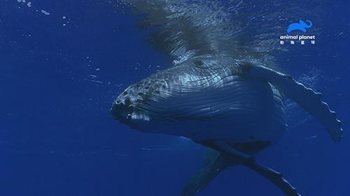大翅鯨的歌聲可以傳到2500多公里之遠的大海另一端,音量高達175分貝,是地表上音量最大的哺乳類動物。