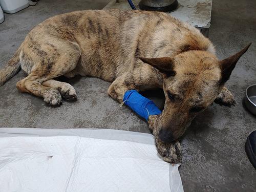 虎斑犬受困排水溝獲救 動保處治癒等待善心家庭收養